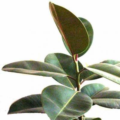 橡皮树-广西泰宁集团丨guangxi